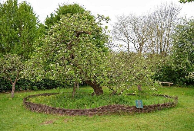 درخت نیوتن