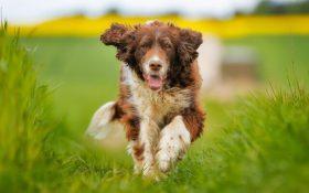 """آموزش سگها برای بو کشیدن """"کووید-۱۹""""!"""